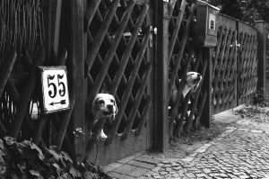 Guard dogs on the fence